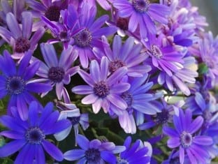 Pericallis Baby Senetti  True Blue