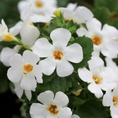Bacopa (Sutera) 'Epic White'