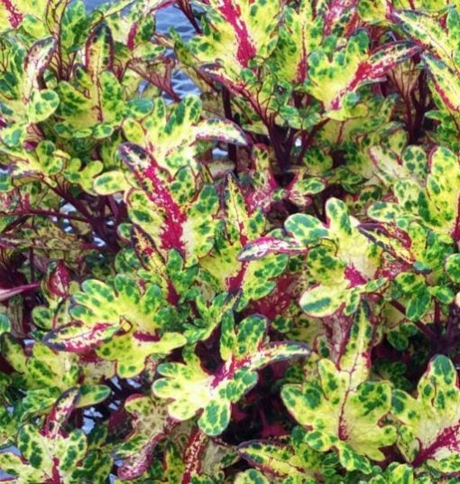 Coleus Chris Baker Tickled Pickle