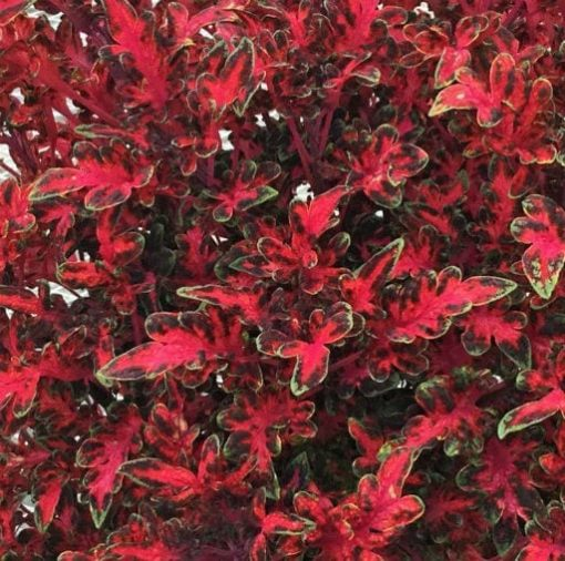 Coleus Chris Baker Tickled Red