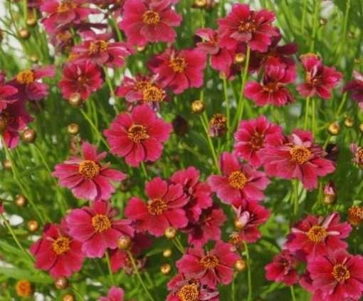 Coreopsis hybrid 'Twinklebells Red'