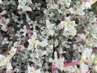 Lampranthus deltoides