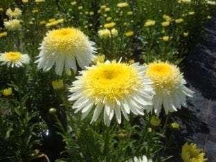 Leucanthemum superbum Real Glory