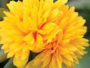 Portulaca ColorBlast Double Yellow