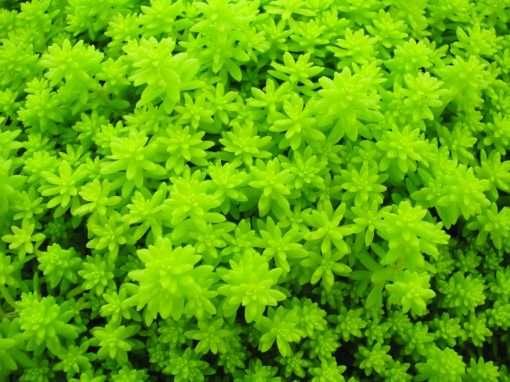Sedum Fine Leaf Gold