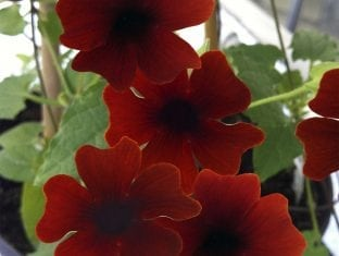 Thunbergia Sunny Susy Brownie (Red)