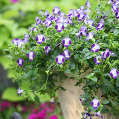 Torenia fournieri Summer Wave  Bouquet Blue