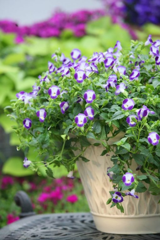 Torenia fournieri Summer Wave  Bouquet Blue
