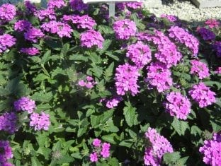 Verbena Temari  Patio Hot Pink